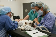 dog prepared for surgery