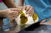 Guinea Pig at Vet - Seymore Imagery/Photodisc/Getty Images