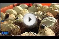 Cobra eggs hatching at Pookod veterinary College